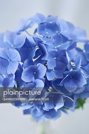 Blue Hydrangea flower, close-up - p495m2300589 by Jeanene Scott