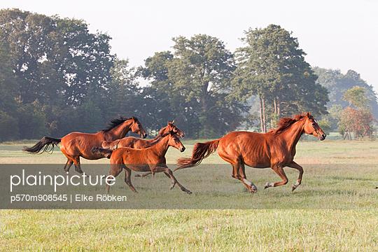 Horses at a gallop - p570m908545 by Elke Röbken