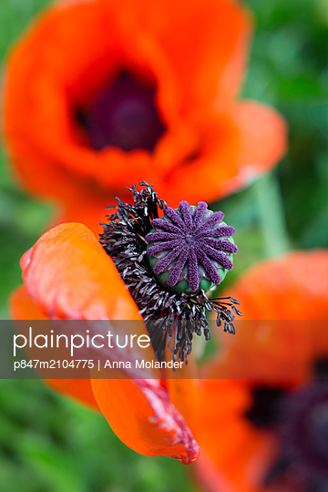 Close-up Of A Red Poppy   - p847m2104775 by Anna Molander