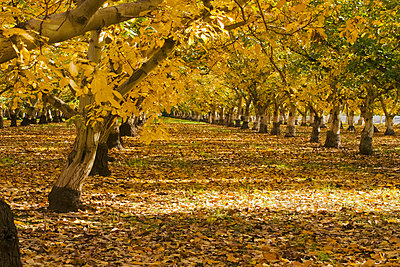 Agriculture, Walnut orchard after the harvest in full autumn color, near Corning, Tehama County, Northern California, USA. - p442m936626f by Kathy Coatney