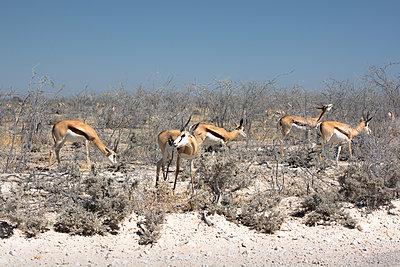 Springböcke - Namibia - p1486m1589832 von LUXart