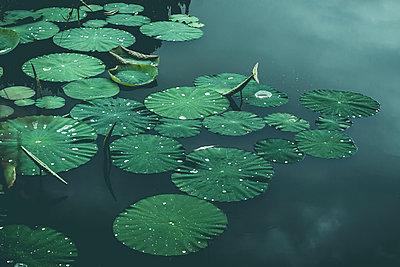 Lily-pads on pond, Wuppertal, Germany - p300m2102784 von Dirk Wüstenhagen