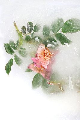 Hagebuttenblüte    - p450m2192788 von Hanka Steidle