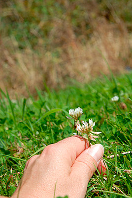 Hand picking a daisy - p6810032 by Sandrine Léon