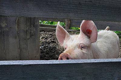Little pig - p876m668775 by ganguin