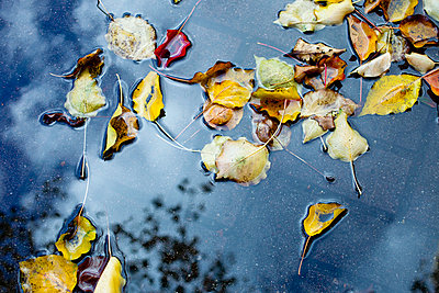 Autumn leaves floating in a puddle - p301m844045f by Erika Pino