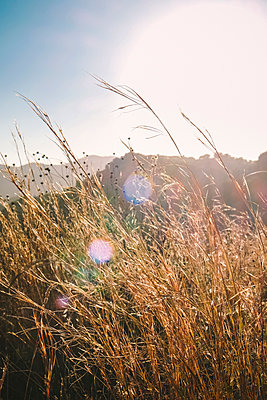 Tall golden grasses in Afternoon Sun - p694m2248959 by Neville Mountford-Hoare