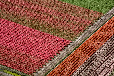 Tulips - p1120m948351 by Siebe Swart