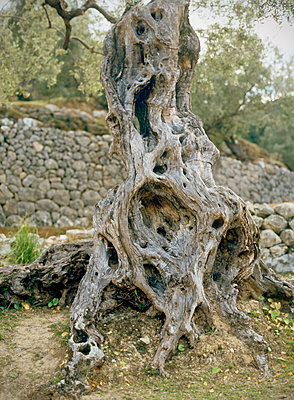 Olive tree - p885m1087467 by Oliver Brenneisen
