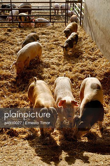 Außenhaltung von Schweinen - p4910027 von Ernesto Timor
