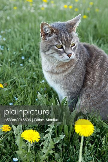 Cat with dandelions - p533m2015606 by Böhm Monika