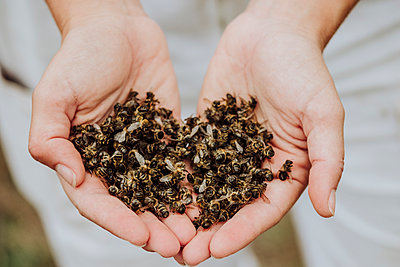 A lot of dead bees in a hands - p1166m2235158 by Cavan Images