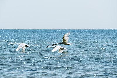 Swans in flight - p739m1138449 by Baertels