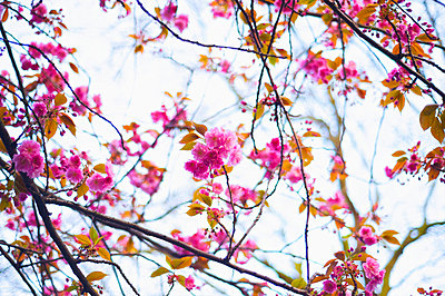 Pink blossoms on a tree; London, England - p442m966827f by Ingrid Rasmussen