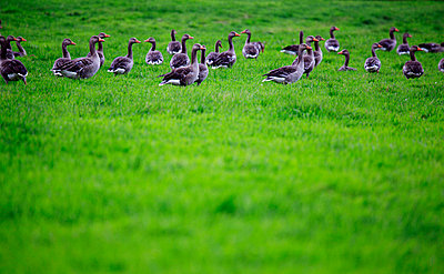 Geese in morning - p179m731862 by Roland Schneider