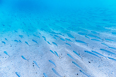 Underwater view of school of bait fish at Waimea Bay, north shore of Oahu, Hawaii Islands, USA - p343m1543704 by Sean Davey
