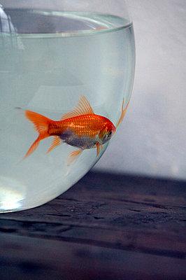 Goldfisch in Kugelglas - p3880804 von L.B. Jeffries