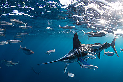 Striped marlin hunting mackerel and sardines - p429m2068337 by Rodrigo Friscione