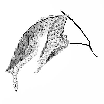 American Beech Leaf on White Background, II - p694m2068210 by Lori Adams