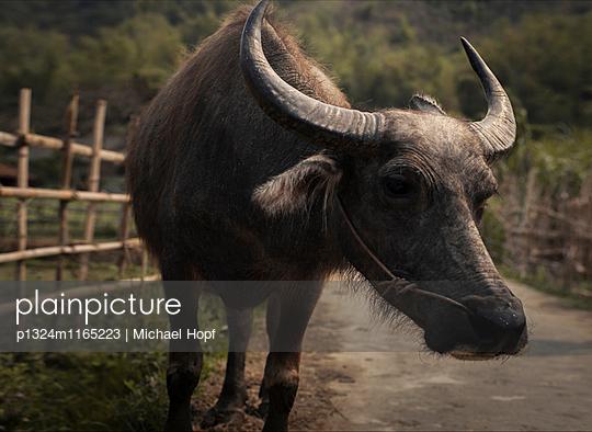 Porträt eines Wasserbüffels - p1324m1165223 von michaelhopf