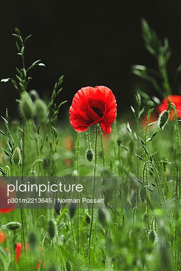 Red poppy growing in sunny field - p301m2213645 by Norman Posselt