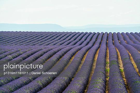 Lavendelfeld, bei Valensole, Plateau de Valensole, Alpes-de-Haute-Provence, Provence, Frankreich - p1316m1161011 von Daniel Schoenen