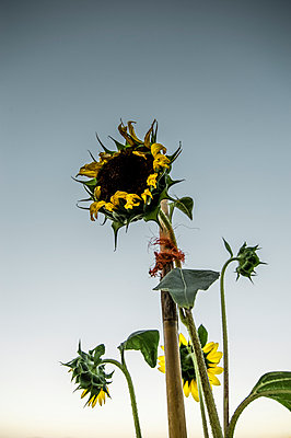 Sunflower tied to bamboo support - p1047m953670 by Sally Mundy