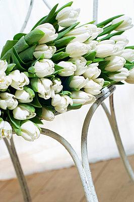 Weiße Tulpen auf einem Stuhl - p4730175f von Stock4B