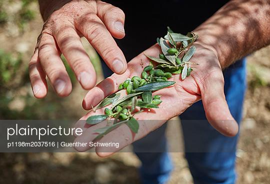 Olivenbauer prüft seine frische Ernte - p1198m2037516 von Guenther Schwering