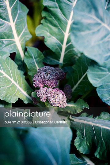 Cabbage in vegetable garden - p947m2193536 by Cristopher Civitillo