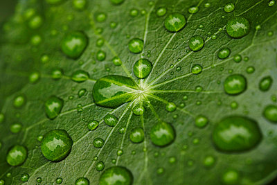 Close up of water droplets on leaf - p42918470f by Niels Busch