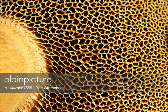 close-up of the bottom of the hood of a suede bolete - p1144m967555 by Bart Stornebrink