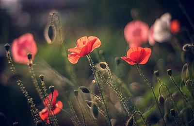 Close up of red flowers - p555m1304078 by Valeriya Tikhonova