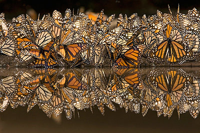 Monarch butterflies gathering to drink water and take up minerals - p8845020 by Ingo Arndt