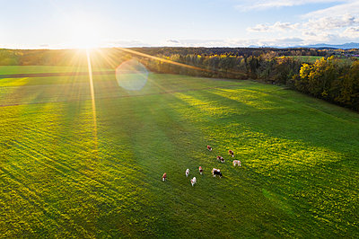 Germany, Bavaria, Thanning near Egling, cows on pasture at sunrise, drone view - p300m2081288 by Martin Siepmann