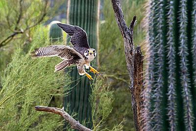 Prairie falcon (falco mexicanus), Sonoran desert; Arizona, United States of America - p442m976600f by Mark Newman