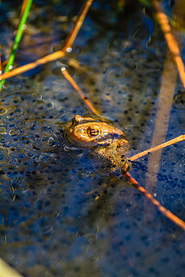 Frog - p417m815047 by Pat Meise