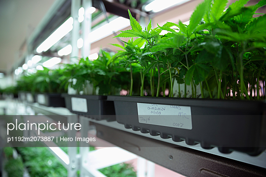 Cannabis seedlings in incubation - p1192m2073887 by Hero Images