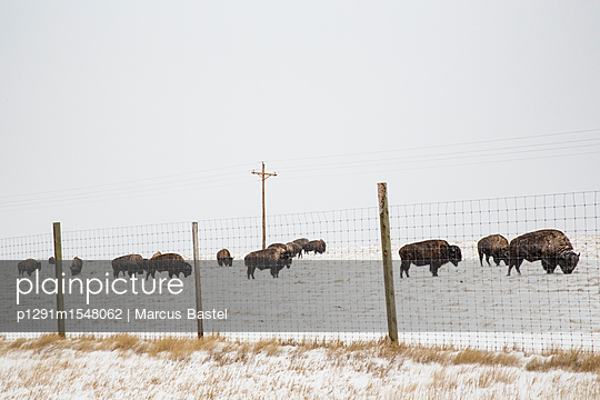 Buffalo Herd behind fence - p1291m1548062 by Marcus Bastel