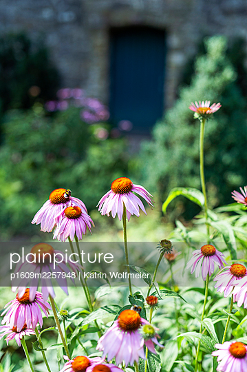 Echinacea in the garden - p1609m2257948 by Katrin Wolfmeier