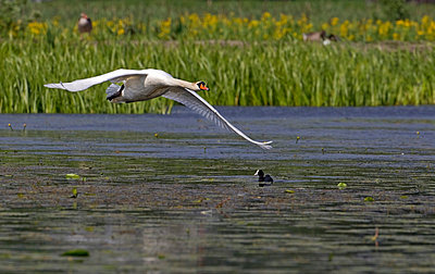 Side shot of a mute swan flying over the lake against grass - p1025m789255f by Torbjörn Arvidson