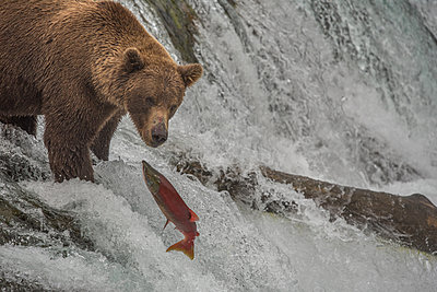 Brown Bear Fishes for Salmon Atop Waterfall, Katmai National Park, AK - p1166m2147351 by Cavan Images