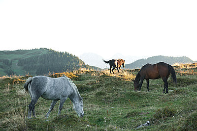 Grazing horses on the mountain pasture - p533m2044342 by Böhm Monika