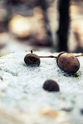 Single acorn in the snow - p879m2295229 by nico