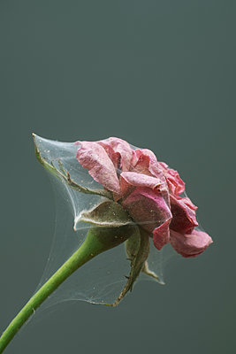 Spiders web around a rose - p1228m2125006 by Benjamin Harte