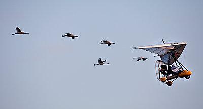 Whooping Cranes - p343m1089888 by Tom Lynn