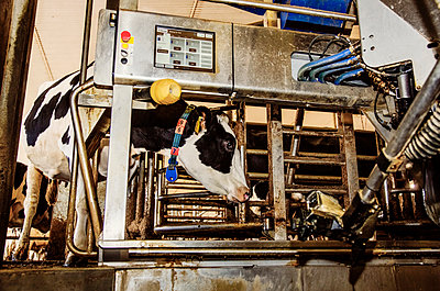 Holstein cow looking out of a milking stall waiting to be milked using automated milking equipment on a robotic dairy farm, North of Edmonton; Alberta, Canada - p442m2077663 by LJM Photo
