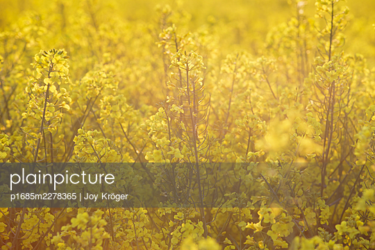 Rape field - p1685m2278365 by Joy Kröger