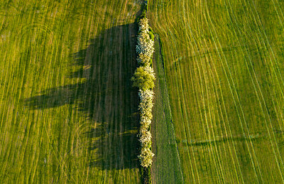 Row of trees between two fields, aerial view - p1132m2185386 by Mischa Keijser