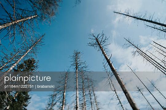 Forest dieback in Harz National Park  - p1184m1222751 by brabanski